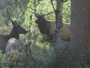 To our delight, a happy surprise greeted us early this morning when this big Bull brought his harem over for breakfast.
