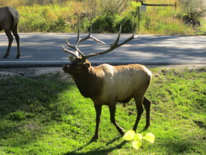 Remember: Elk are huge, powerful, wild animals.