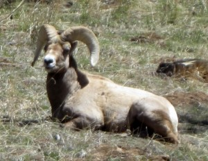 A beautiful Ram resting on the hillside across from our office.